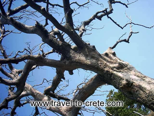 ELAFONISSOS - A tree on the way to Elafonissos
