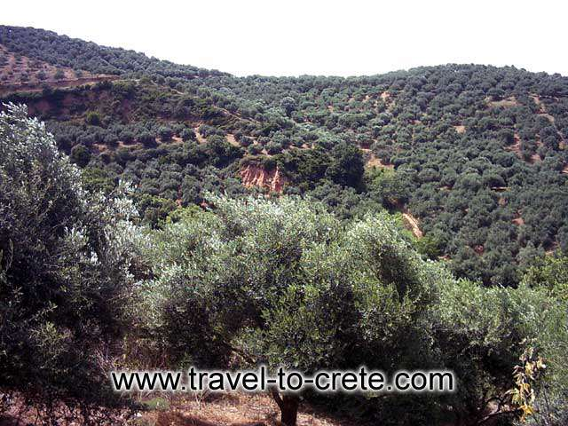 PALEOHORA - A typical Cretan landscape with olive oil trees on the way to Paleohora