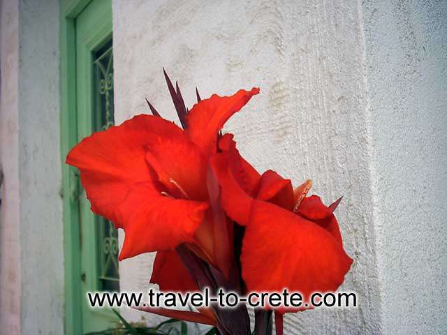 RETHYMNON - A flower
